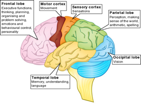 About the brain